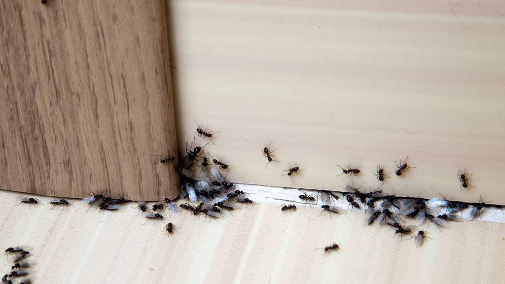Μυρμήγκια στο σπίτι