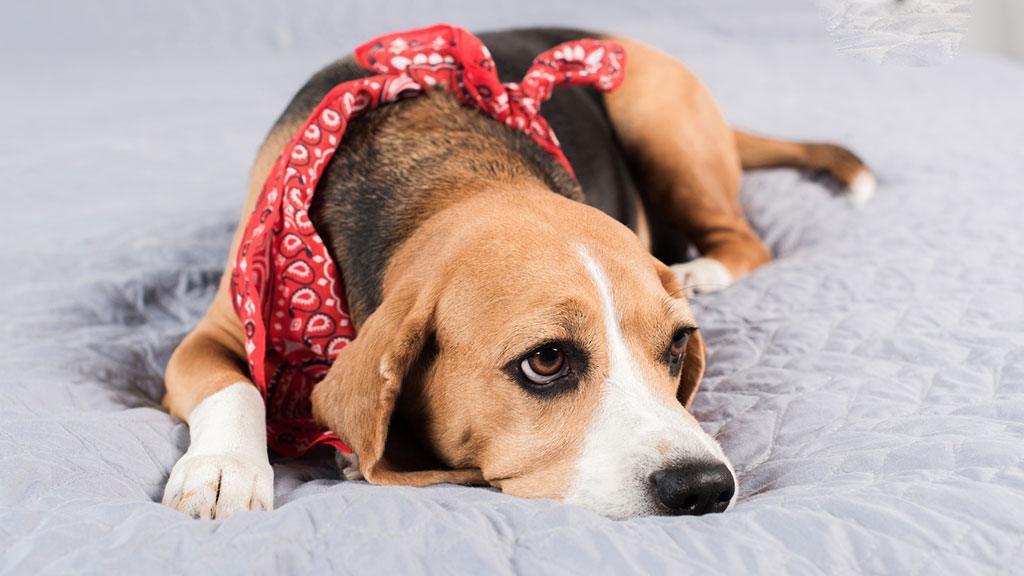 Στομαχική διαταραχή του σκύλου